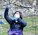 안성시, 농업기술센터 배 꽃가루 채취…